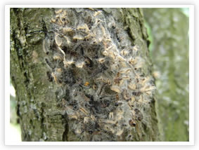 Oak Processionary Moth - On Tree Trunk